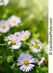 Daisy or Camomile Flowers on Green Grass - Summer Sunlight...