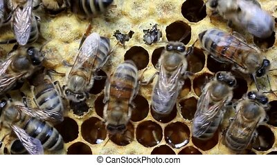 Birth of bee - Young bees bite cover cocoon and comes out