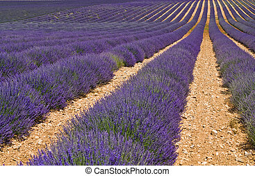 lavender field in Provence - nice view of colored field of...