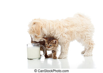 Cat and dog feeding together - stalking the milk cup