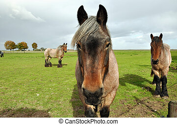 Dutch Draft Horses - Three Dutch Heavy Draft Horses in a...