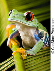 Red eyed tree frog - Frog - small animal with smooth skin...