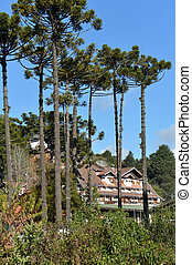 Araucaria tree typical of the region of Campos do Jordao, in the mountain region