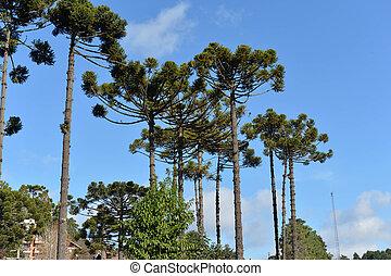 Araucaria, árbol, típico, región, Campos, Jordao, Montaña,...