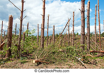 The broken trees after powerful hurricane