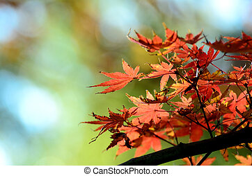 Autumn leaves. The maple which began to dye red.