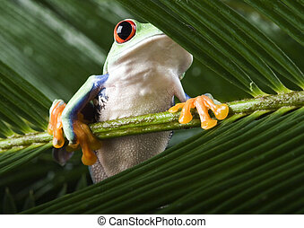 Red eyed leaf frog - Frog - small animal with smooth skin...