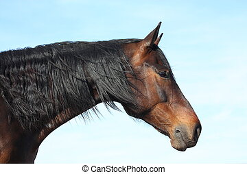 Bay horse with long mane portrait on sky background - Brown...