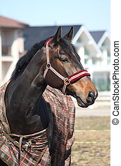 Black horse with checkered coat portrait - Black horse wit...