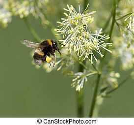 Bumble Bee Flying - bumble bee in flight flying towards a...