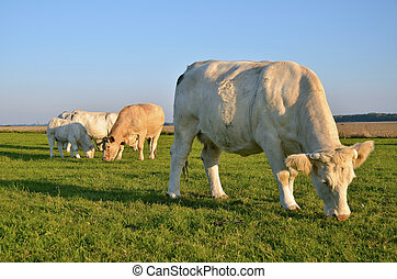 Cows grazing in the upper Normandy in France in light of...