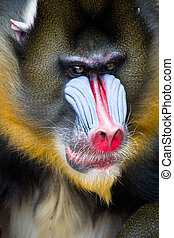 Mandrill face. Close-up photo.