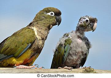 Two Burrowing Parrots (Cyanoliseus patagonus) including a...