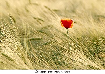 Poppy in a field - Lonely poppy in a field at dusk