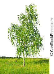 white birch isolated on a white background...