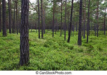feuilles, pin, clair, vert, forêt, Myrtille, terrestre