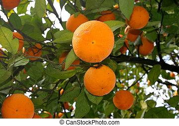 several oranges on a tree branch