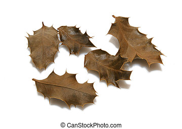 dry holly leaves