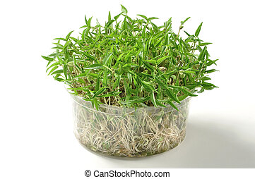 Mung bean sprouts - Plastic container of growing mung bean...