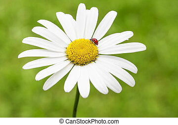 ladybug on a marguerite or common daisy petal