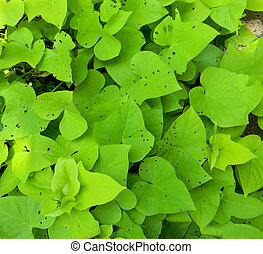 Sweet Potato Vine Plant Leaves - Close up of brightly...