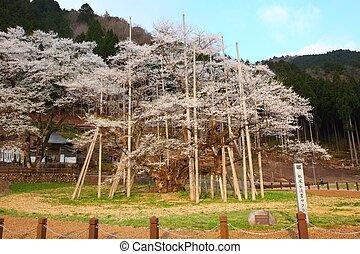 Japanese cherry tree - A 1500 year old 'Usuzumizakura'...