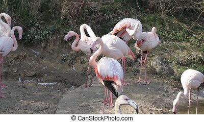 Flamingos - Group of Flamingos