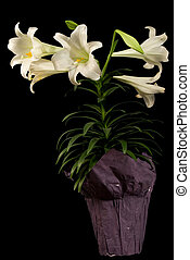 Vertical Easter Lily - An planted Eater Lily taking up...