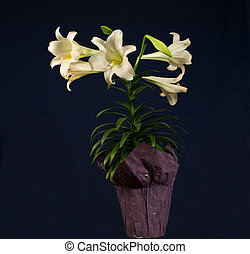 Easter Lily - A potted Easter Lily isolated against a dark...