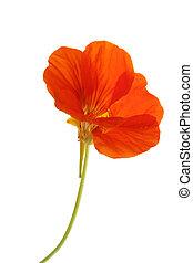 Nasturtium Tropaeolum majus - Flowering nasturtium...