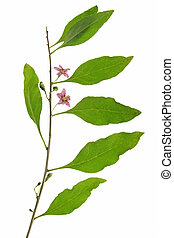Goji berry Lycium barbarum - Twig with leaves and flowers of...