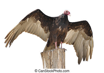 Isolated turkey vulture on perch - Turkey vulture (Cathartes...