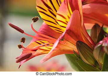 Macro Peruvian lily flower - Macro of red and yellow...