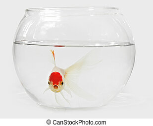 goldfish in bocal - white and red goldfish on a bowl