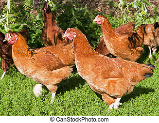 Hens - Red hens on the green grass