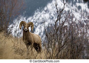 Big Horn Sheep - Photo taken in the Canadian Rockies, of a...
