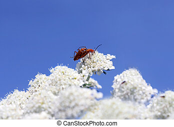 reproduction of insects - a pair of beetles reproduced on...