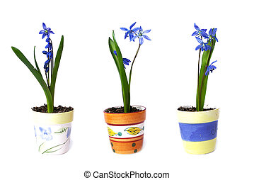 Three flowerpots with snowdrops on a white background