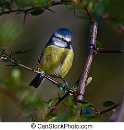 Blue Tit, Cyanistes caeruleus - Blue Tit framed by the...