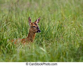 Roe Deer in a field of long grass.