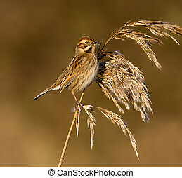 Reed Bunting, Emberiza schoeniclus - Reed Bunting on a plant