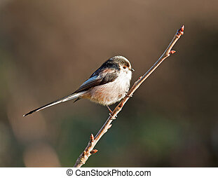 Long Tailed Tit, Aegithalos caudatu - A Long Tailed Tit on a...