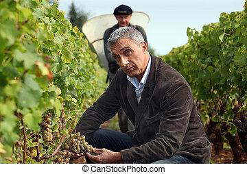 men during grape harvest