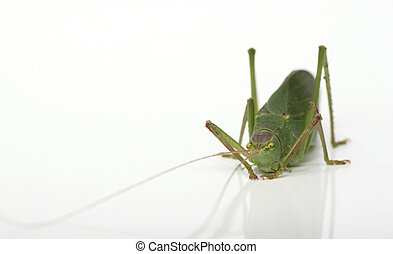 My Katydid - Closeup view showing the adorable face of a...