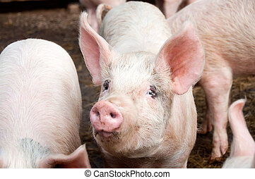 Pigs in Pig Sty - Pig with big ears in pig sty