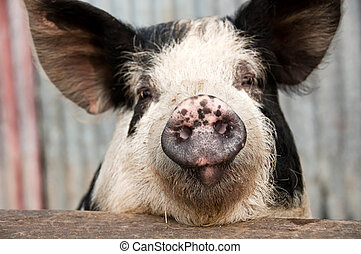Pig snout with whiskers