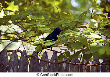 Peekaboo - A common grackle peeking through the trees