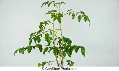 Lush tomato seedlings and flowers - Lush tomato seedlings...