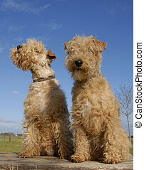 two lakeland terriers - two purebred lakeland terrier on a...