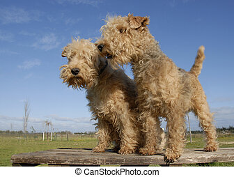 two lakeland terrier - two purebred lakeland terrier on a...
